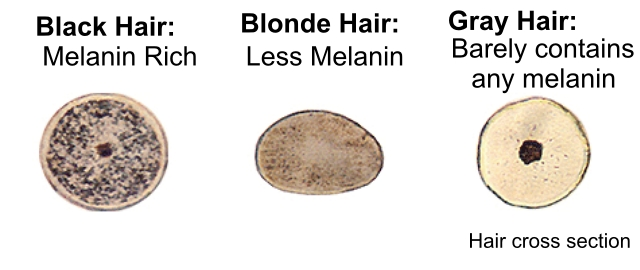 Hair Cross Section